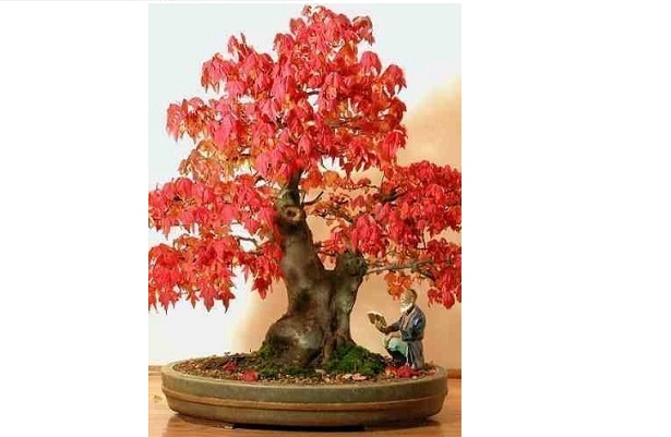 acero rosso giapponese bonsai
