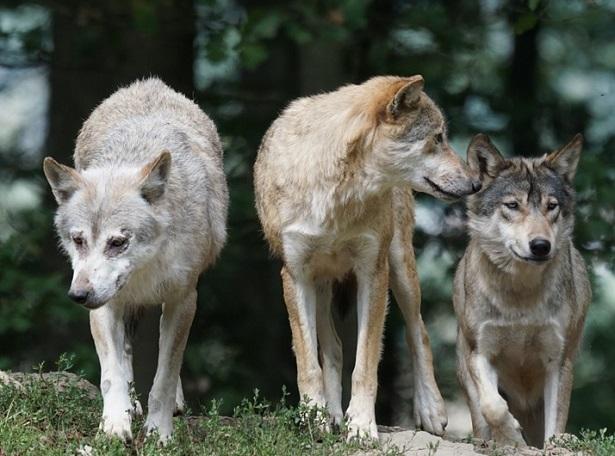 branco di lupi che giocano