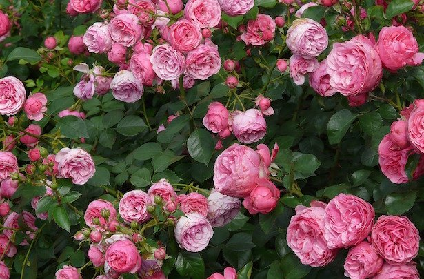 coltivare rose rifiorenti