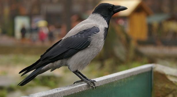 come allontanare i corvi