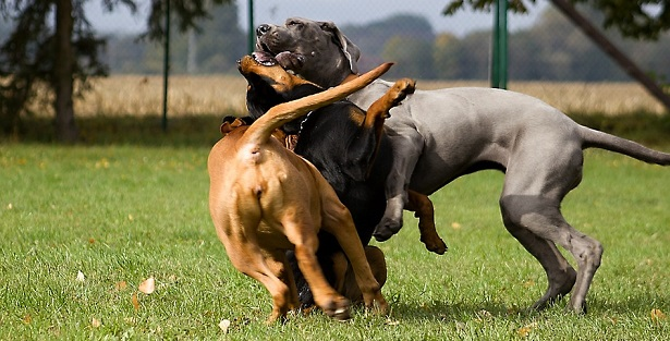 come giocano i cani tra loro