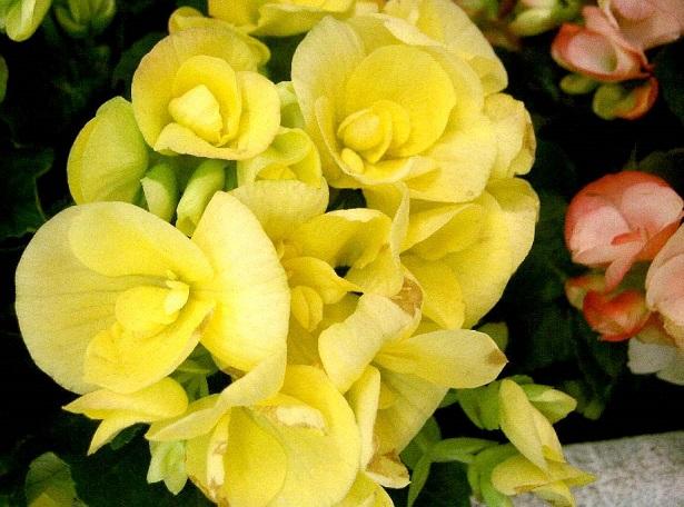 fiori commestibili begonia
