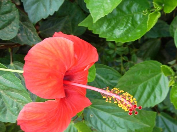 fiori commestibili ibisco