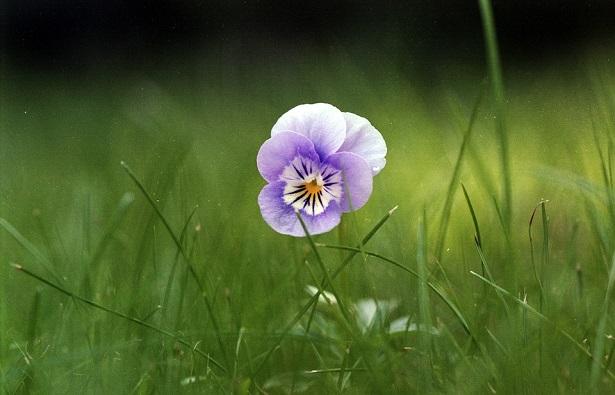 fiori commestibili viola