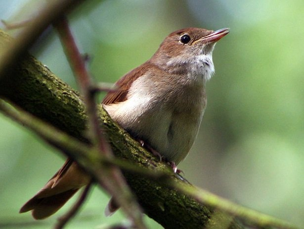 giornata mondiale degli uccelli migratori usignolo