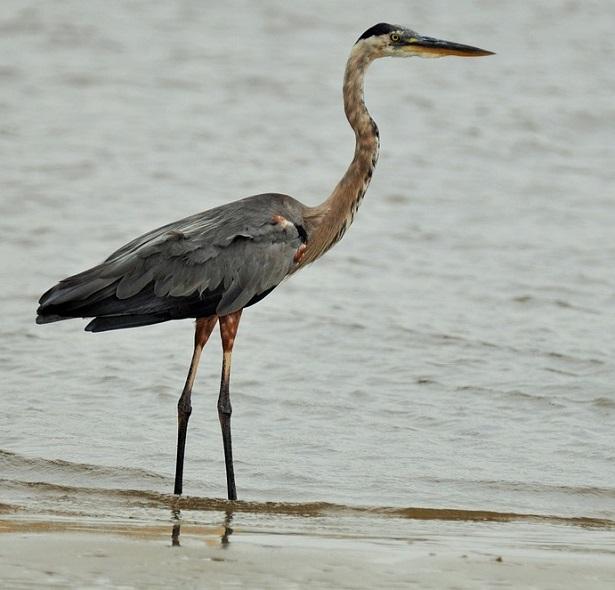 giornata mondiale degli uccelli migratori gru
