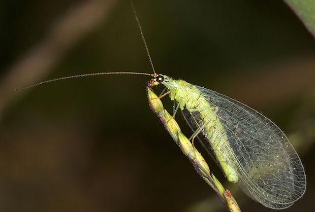 insetti utili orto