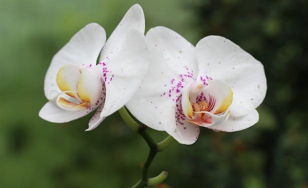 orchidea rinvaso