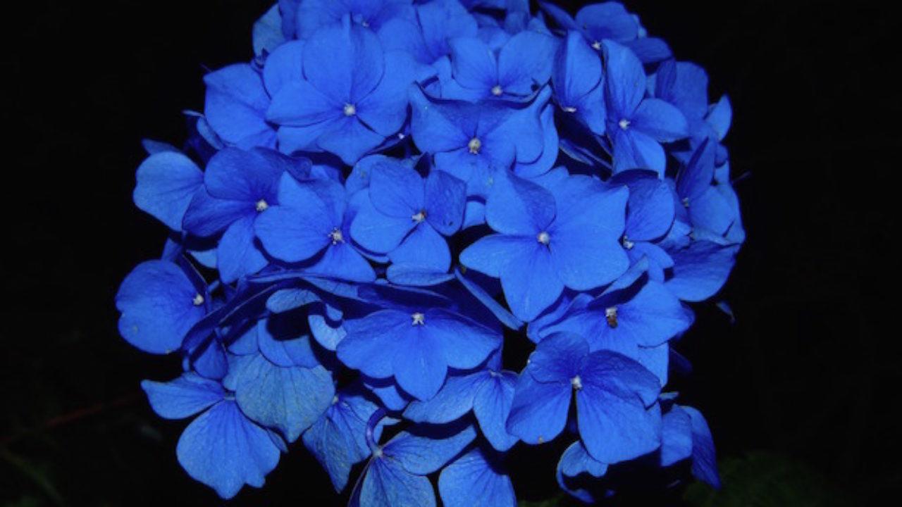 Come Far Fiorire Le Ortensie ortensie blu, come fare - idee green