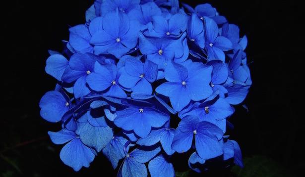 Ortensie blu come fare idee green - Ortensia blu ...