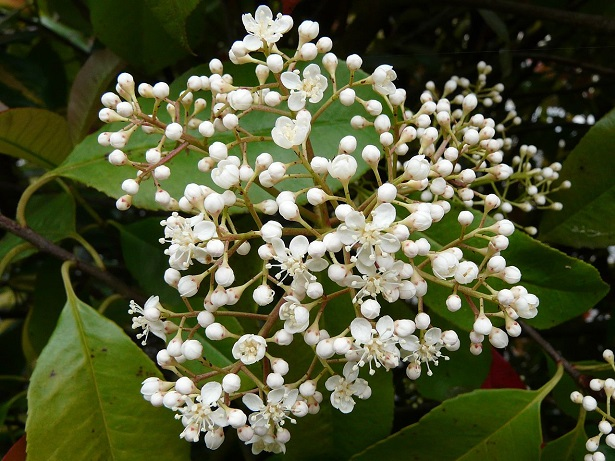 Photinia la siepe rossa perfetta idee green for Piante arbustive