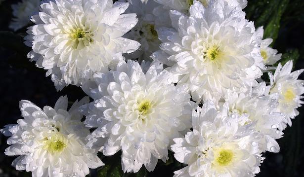 riprodurre crisantemi per talea