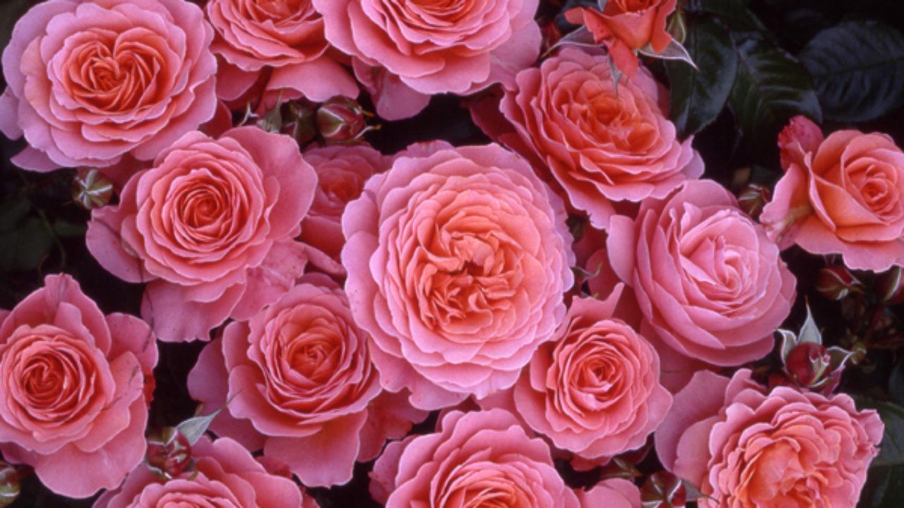 Piante Di Rose Rampicanti rose rifiorentissime - idee green