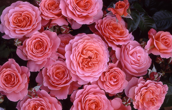 rose rifiorentissime