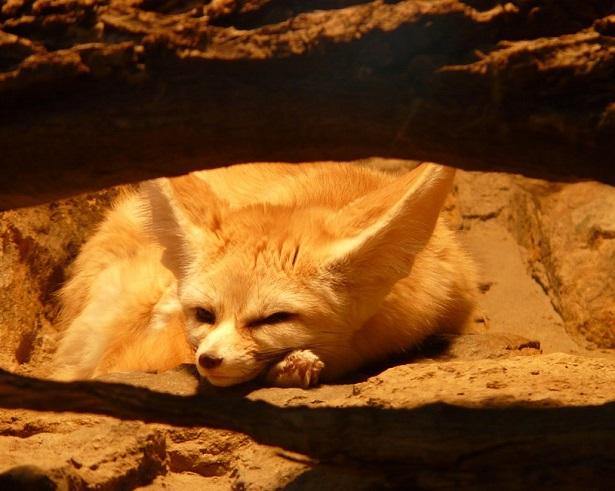 volpe del deserto