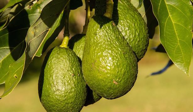 Coltivare avocado in italia