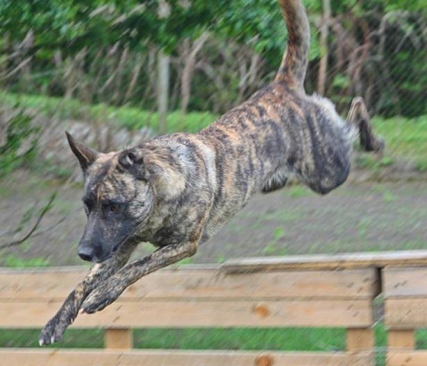 cane pastore olandese