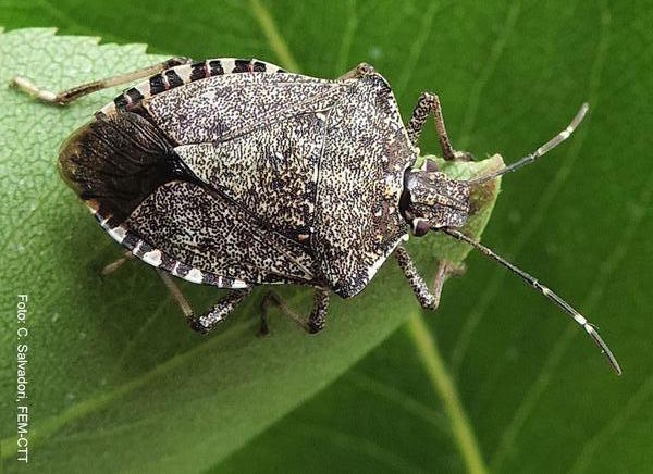 Cimice asiatica rimedi e trattamento idee green for Cimice insetto
