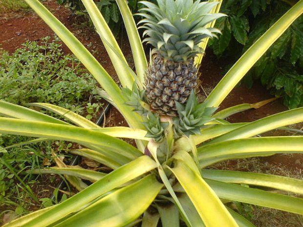 Come coltivare l 39 ananas partendo dal ciuffo idee green - Come coltivare il basilico in casa ...