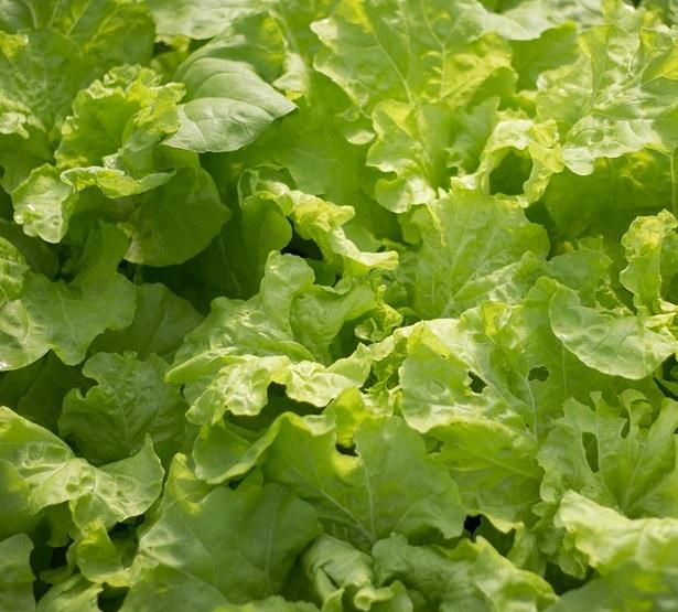 Come si semina l'insalata da taglio