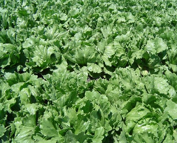 come coltivare l'insalata