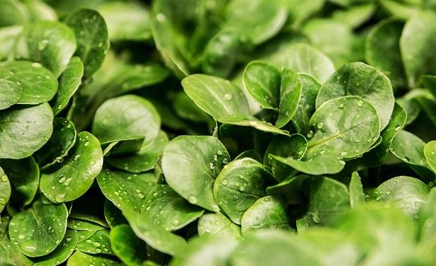 come coltivare l'insalata valeriana