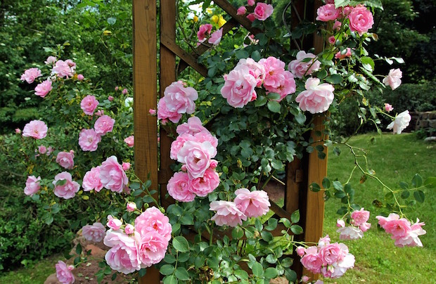 curare rose in estate