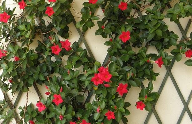 dipladenia pianta e sua coltivazione idee green