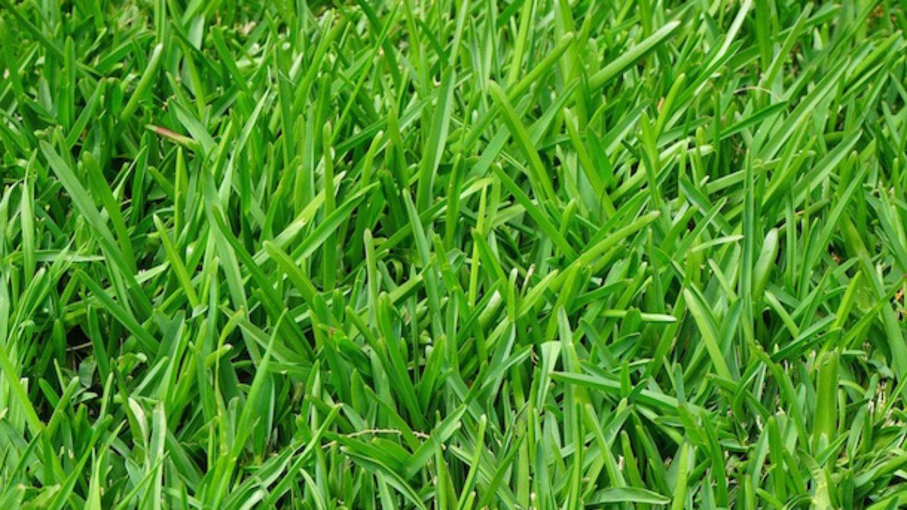 Manutenzione Prato Di Gramignone erba del prato gialla, cosa fare - idee green