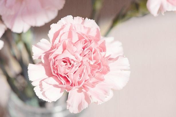 fiore dell'amicizia garofano rosa
