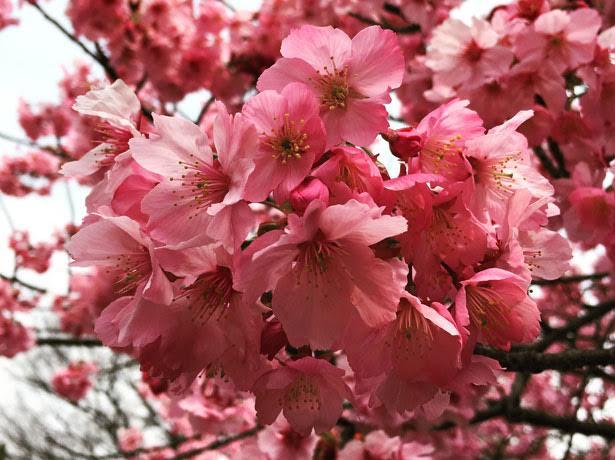 Fiori di ciliegio: significato e immagini - Idee Green