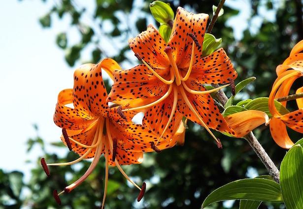 gigli fiori varietà