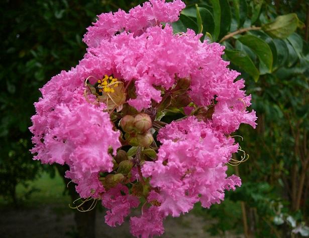 Lagerstroemia pianta fioritura e potatura idee green for Pianta ornamentale con fiori a grappolo profumatissimi