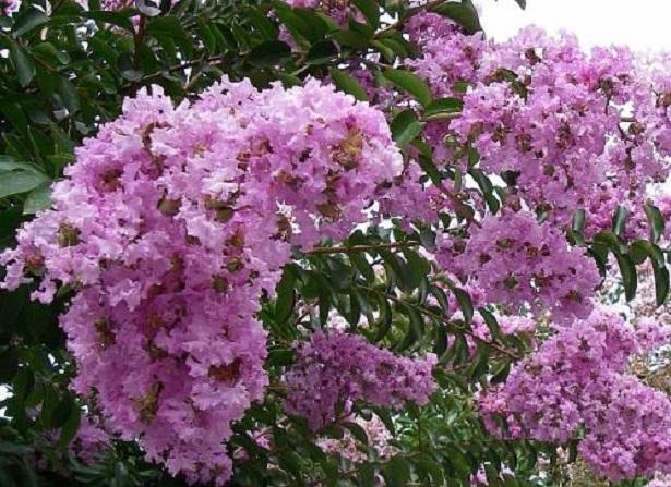 lagerstroemia semi rosa