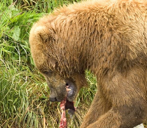 Orso bruno in italia: video e dove si trova idee green