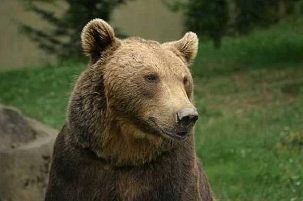 orso bruno in Italia
