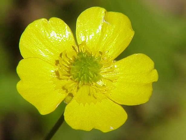 ranuncoli acris giallo