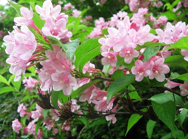 Weigelia florida pianta da giardino idee green - Nomi di piante da giardino ...