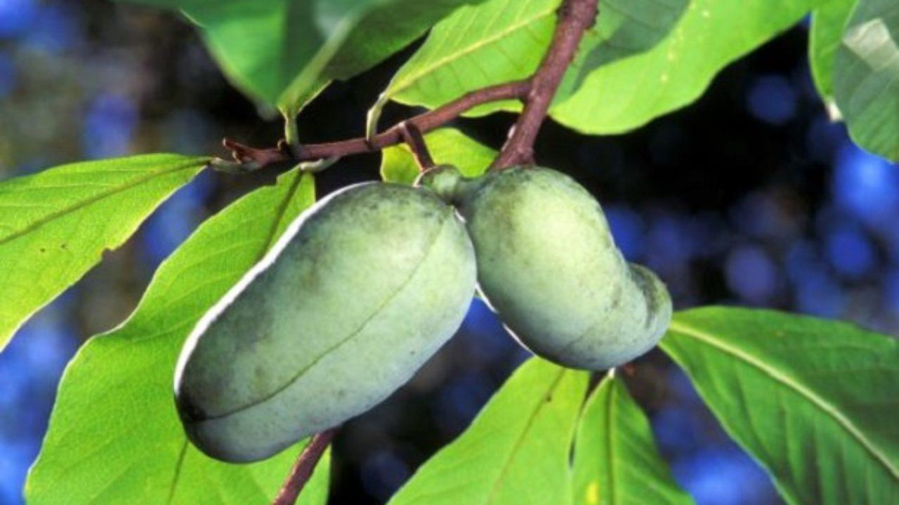 Come Coltivare Un Banano banano di montagna: proprietà e coltivazione - idee green