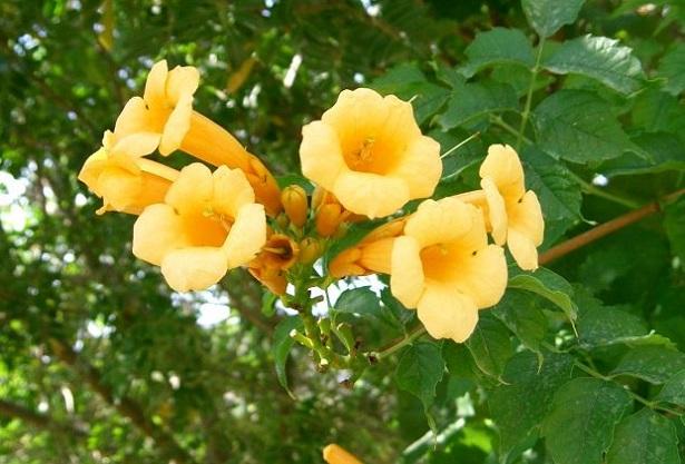 Bignonia: pianta e varietà - Idee Green