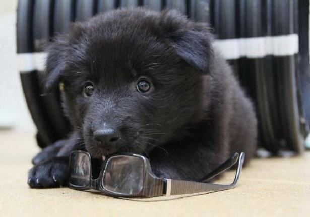 Cane da pastore belga nero