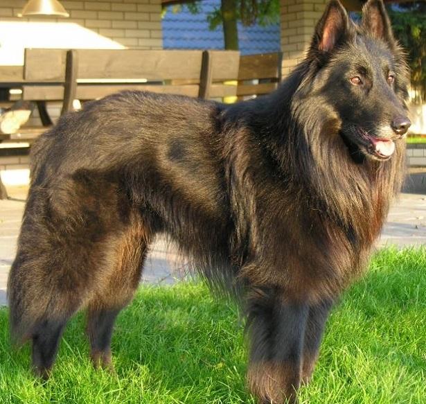 cane da pastore belga