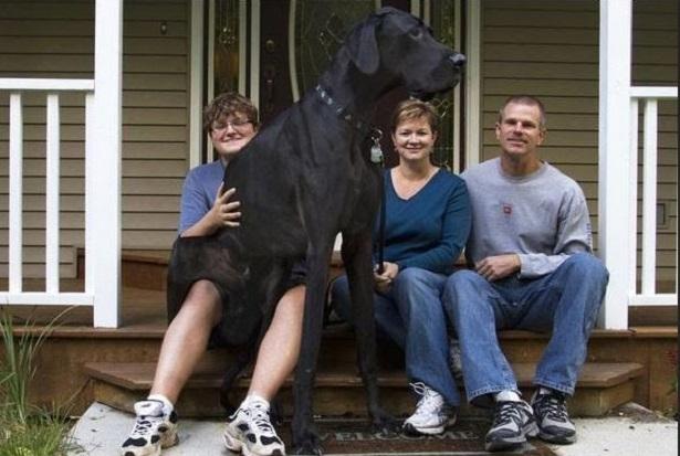 cane più grande del mondo