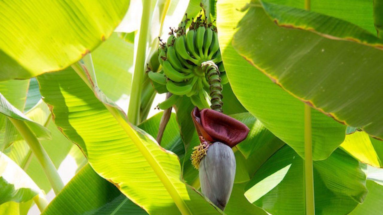 Pianta Di Banana Foto coltivare il banano, la guida - idee green
