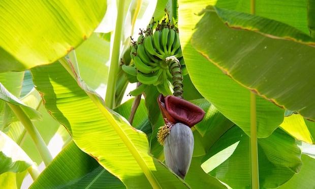 Coltivare il banano la guida idee green - Pianta banano ...