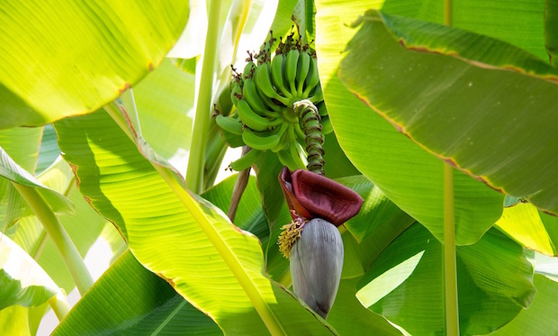coltivare banano in giaridno