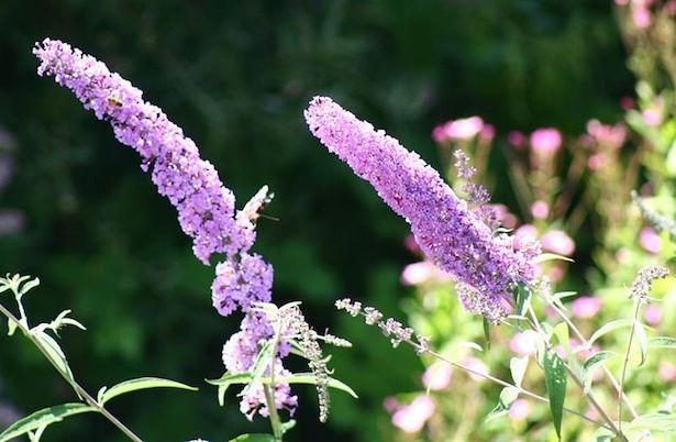 fiori per attirare farfalle