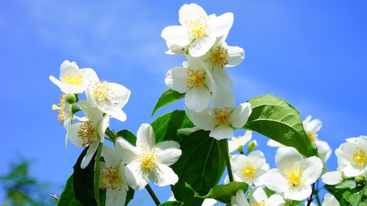 Albero Con Fiori Bianchi fiori profumati - idee green