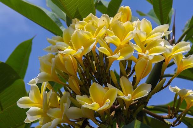 frangipani pomelia plumeria coltivazione