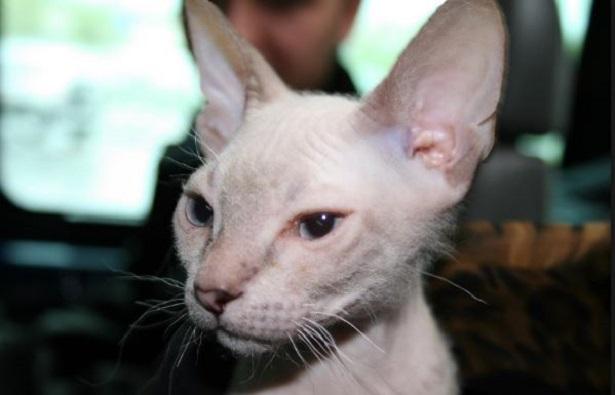 gatti senza pelo donsfinks